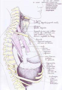 ligaments-coeur-profil