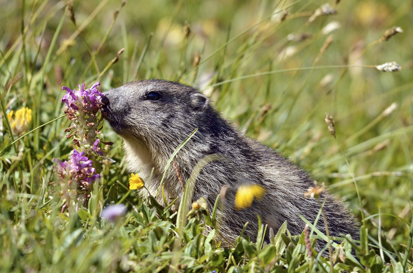 Alpine marmot near flower