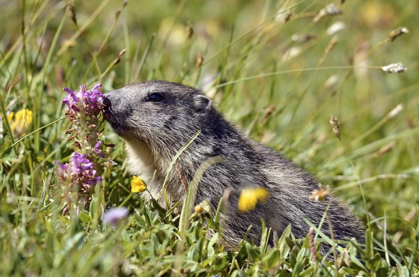 Alpine marmot near flower